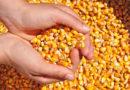 Milho continua subindo em Mato Grosso e cotação média vai a R$ 51