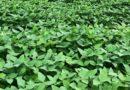 Anomalia em lavouras de soja preocupa agricultores em MT
